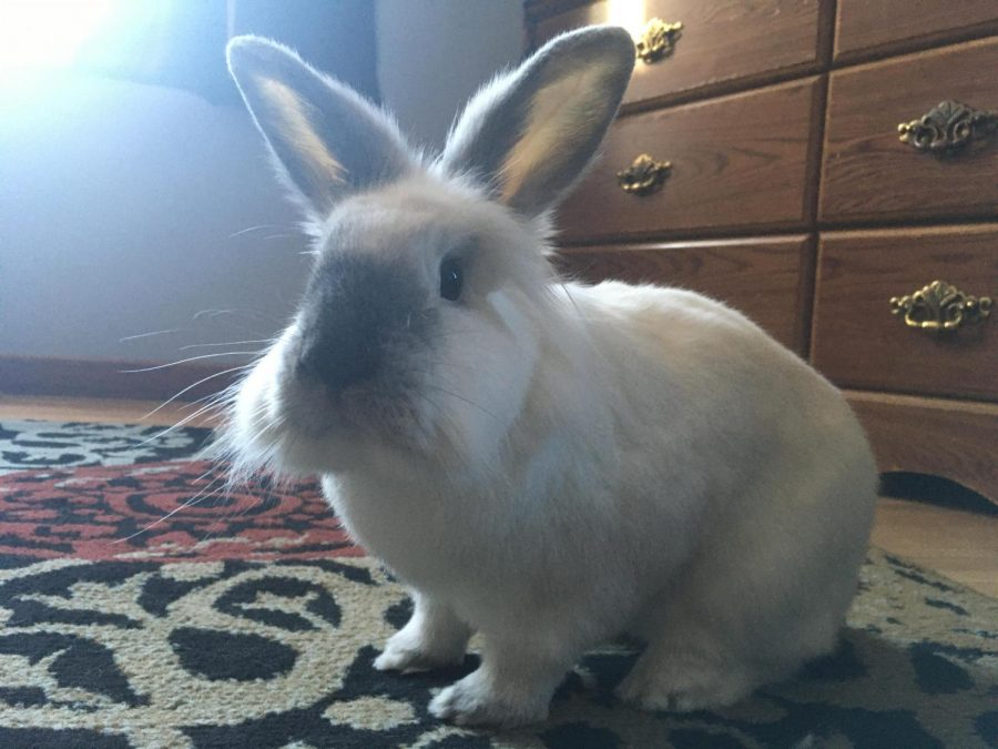 My pet bunny wondering why these people haven't left the house in about a  month.