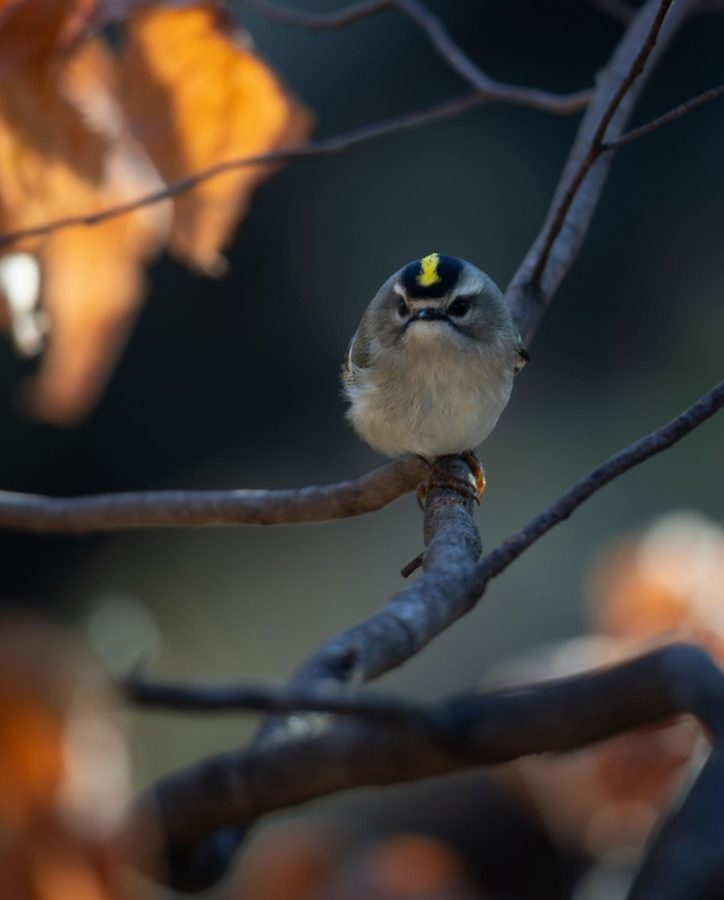 With+spring+being+just+around+the+corner%2C+many+of+Minnesota%E2%80%99s+bird+species+like+this+golden+crown-kinglet+%28pictured+above%29+will+begin+their+migration+to+their+seasonal+breeding+grounds.+This+means+that+hundreds+of+bird+species%2C+ranging+from+ducks+to+warblers%2C+will+begin+their+16%2C000-mile+journey+along+the+Mississippi+flyway+to+reach+Minnesota+and+Wisconsin.+